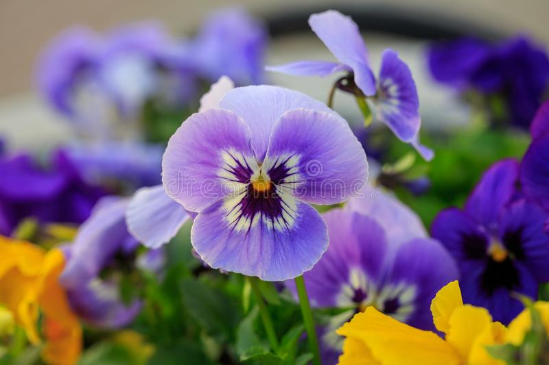 Viola cornuta, tufted pansy. Colorful flowers of violets.  stock photography