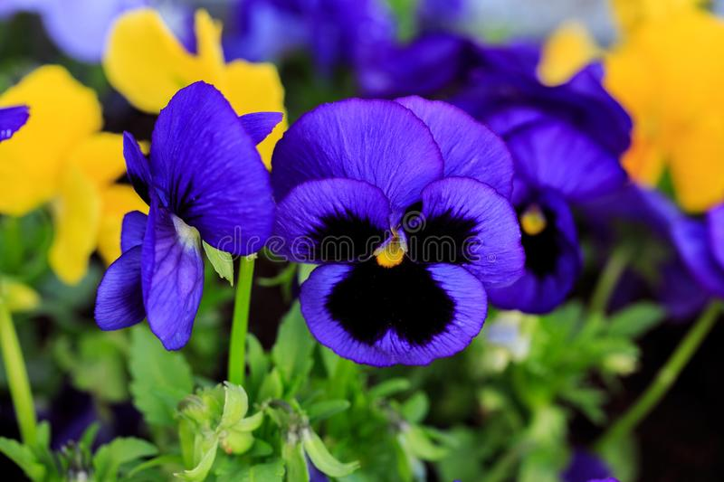 Viola cornuta, tufted pansy. Colorful flowers of violets.  royalty free stock image