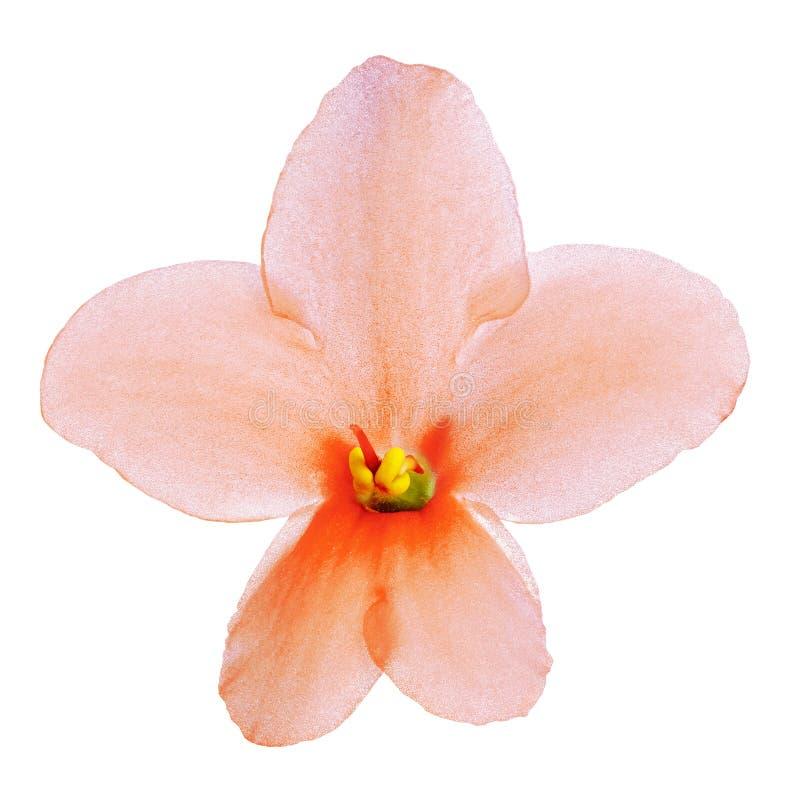 Viola dell'interno di giallo arancio del fiore isolata su fondo bianco Primo piano Macro fotografia stock libera da diritti