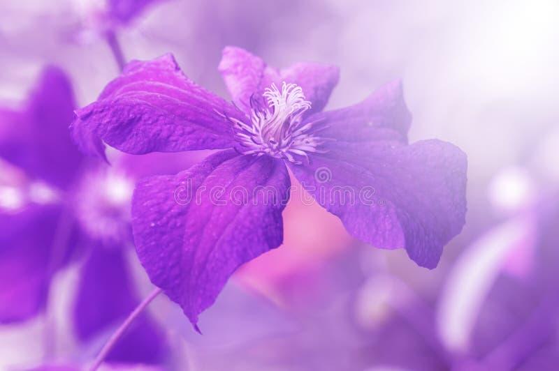 Viola della clematide alla luce solare Immagine artistica di un fiore con la tintura, fuoco selettivo fotografie stock libere da diritti