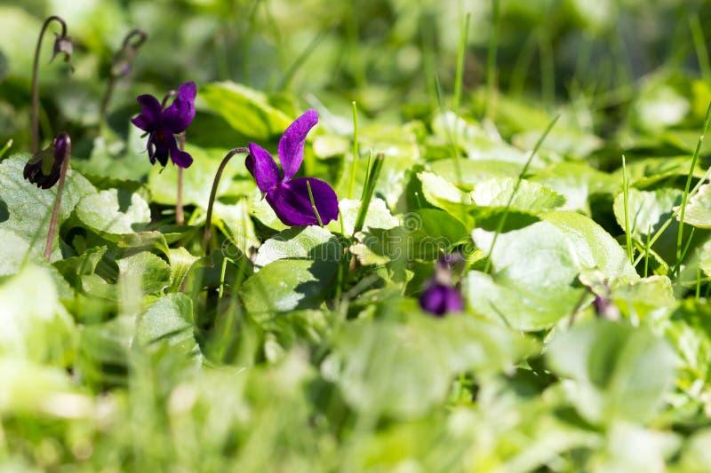 Viola flower between the grass. Violas growing wild in the grass stock photos