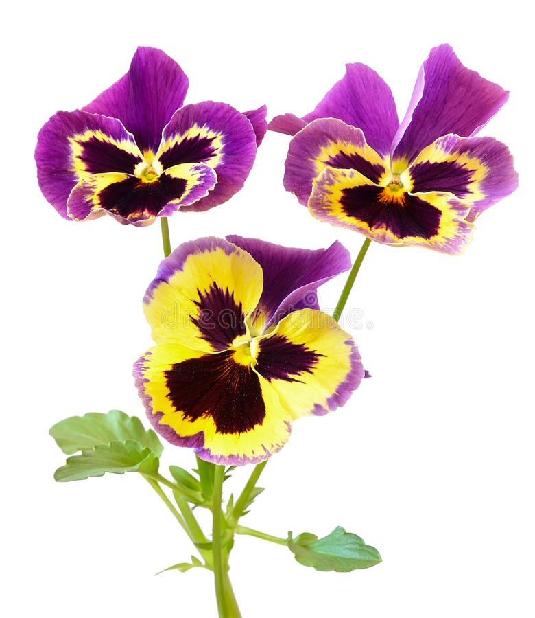 Viola Flowers stockbilder
