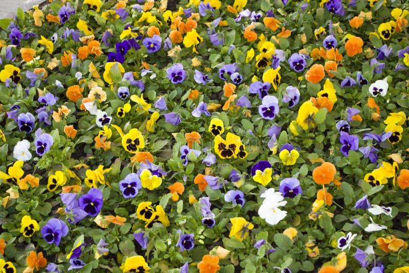 Viola Flowers De zomerachtergrond Kleurrijk beeld royalty-vrije stock foto