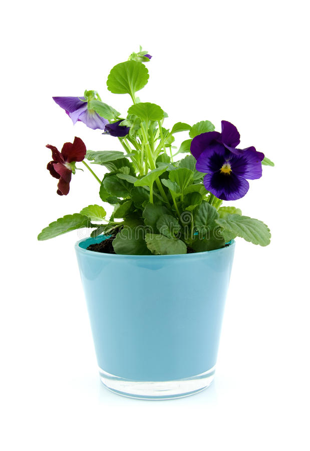Viola flowers in pot. Isolated on white background stock image