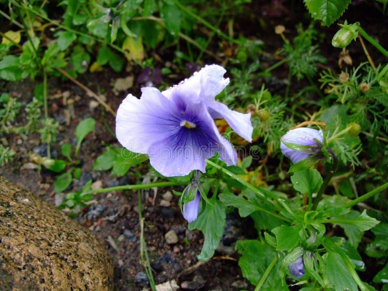 Viola royalty free stock photo