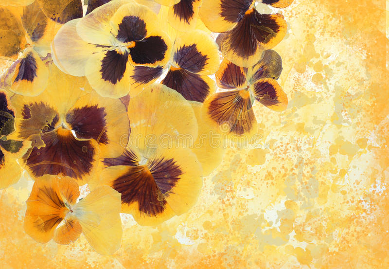 Viola flowers summer explosion royalty free stock images