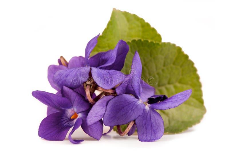 Viola Flowers (Viola Reichenbachiana) immagini stock