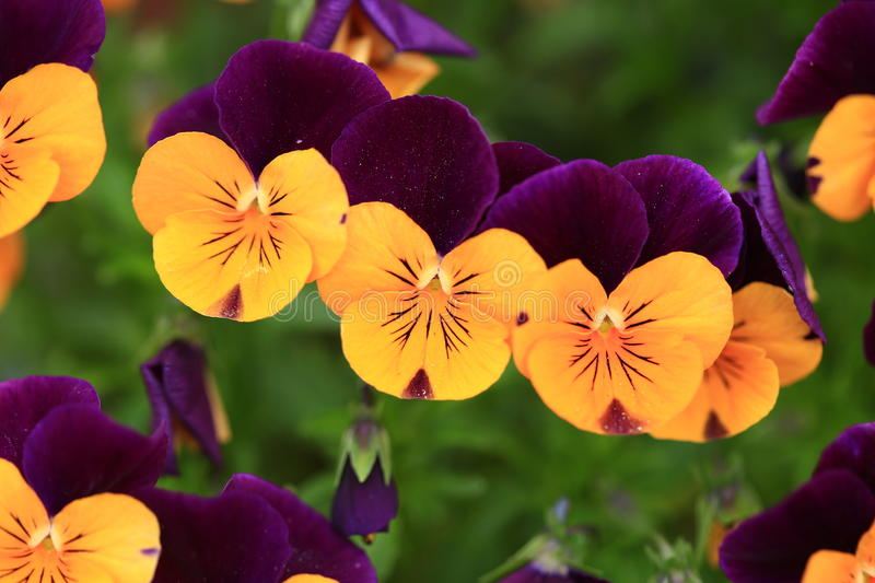 Viola Flowers stock images