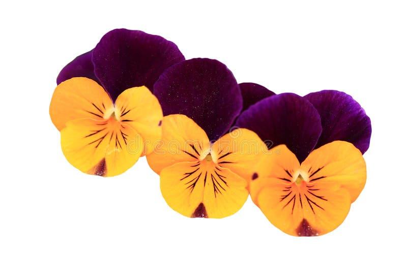 Viola Flowers royalty free stock image