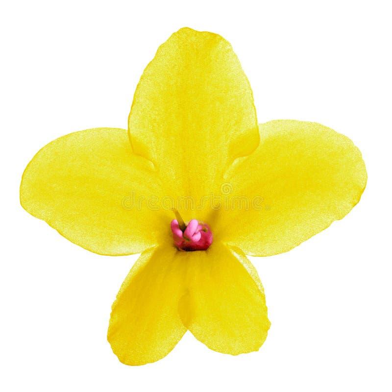 Viola interior del amarillo del rosa de la flor aislada en el fondo blanco Primer foto de archivo