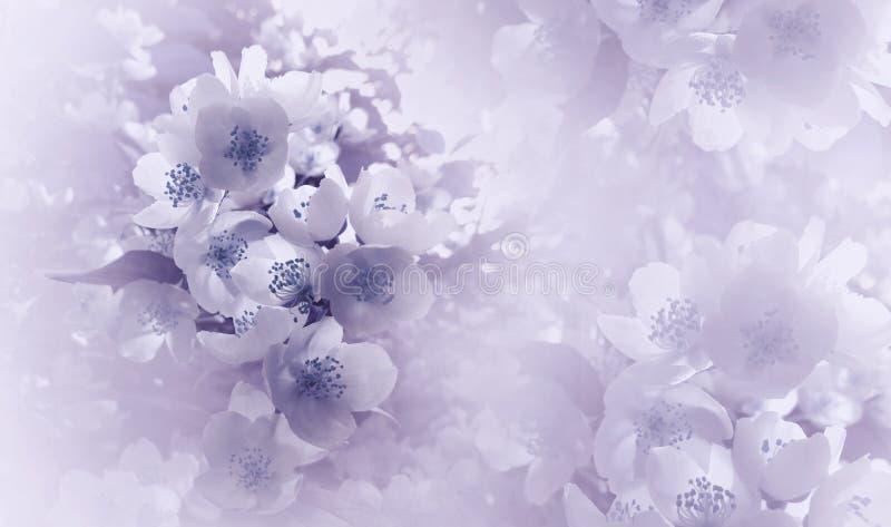 Viola luminosa molle - fondo floreale blu Fiori di una ciliegia su un fondo di semitono bianco rosa Primo piano Cartolina d'augur fotografie stock
