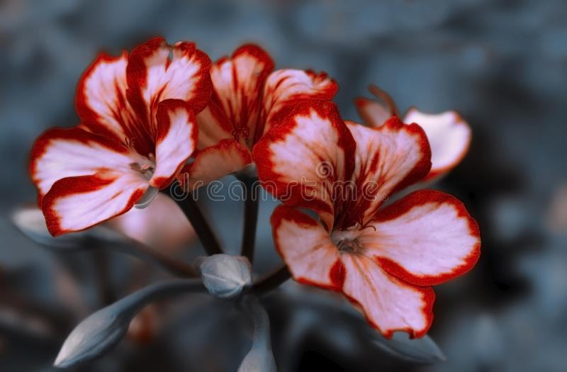 Viola magenta luminosa dei fiori su un fondo di estate del fogliame nella macro del primo piano del giardino fotografia stock