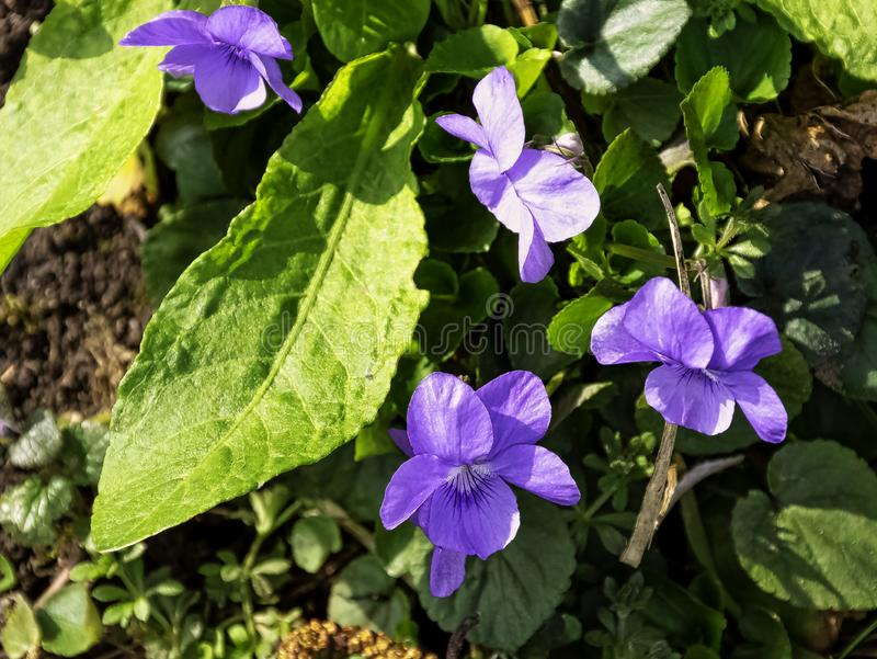 Viola odorata known as wood, sweet, English, common, florist`s, or garden violet stock images