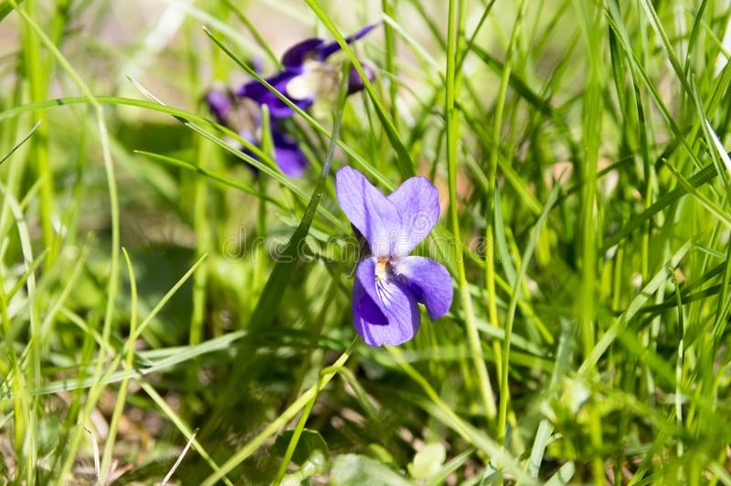 Viola odorata, spring common violet in bloom royalty free stock images