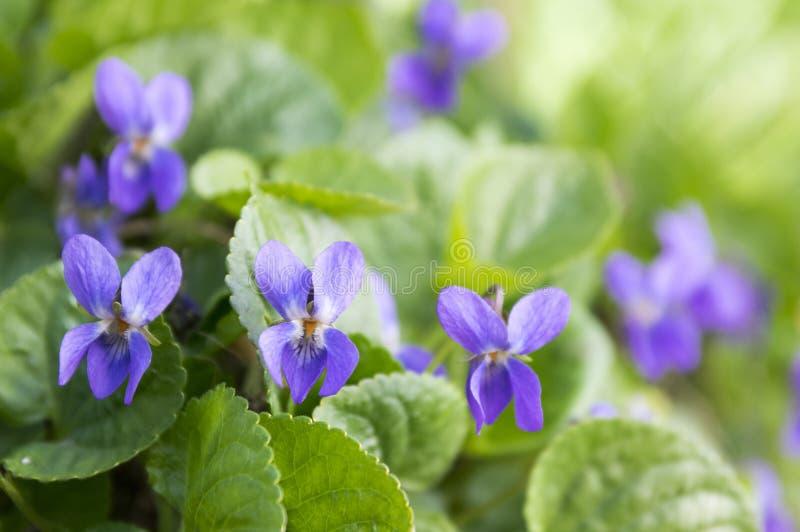 Viola odorata, spring common violet in bloom stock photography