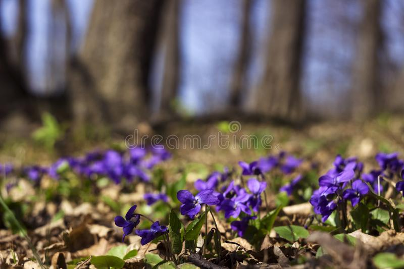 Viola odorata Sweet Violet, English Violet, Common Violet - violet flowers bloom in the forest in spring wild meadow, background.  royalty free stock photography
