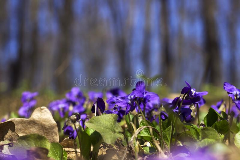 Viola odorata Sweet Violet, English Violet, Common Violet - violet flowers bloom in the forest in spring wild meadow, background.  stock images