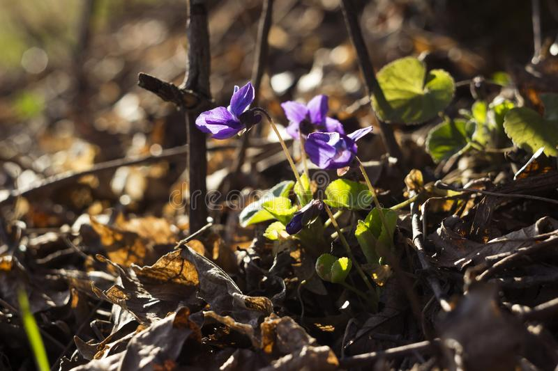 Viola odorata Sweet Violet, English Violet, Common Violet - violet flowers bloom in the spring in spring wild meadow, background.  stock photos
