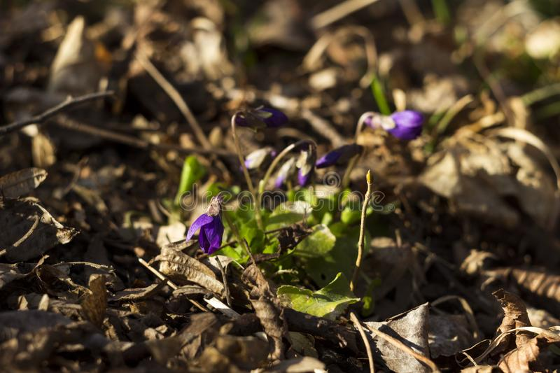 Viola odorata Sweet Violet, English Violet, Common Violet - violet flowers bloom in the spring in spring wild meadow, background.  royalty free stock photo