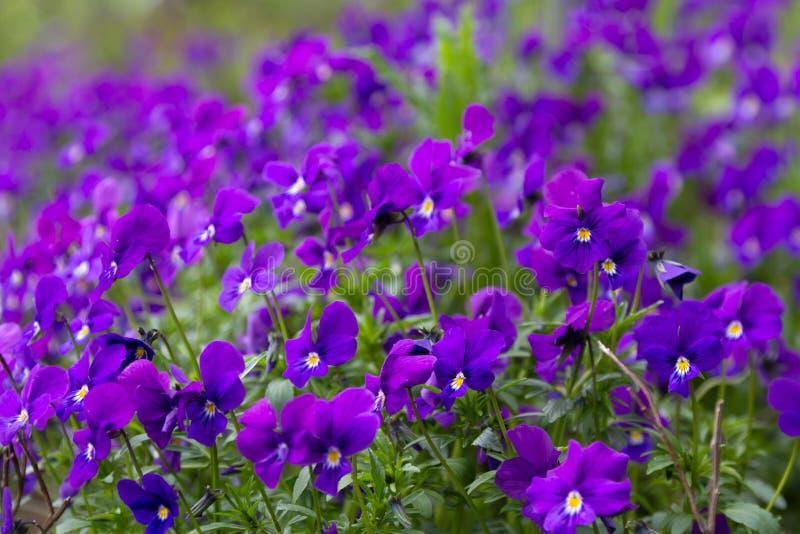 Viola odorata (Sweet Violet, English Violet, Common Violet, or G stock images
