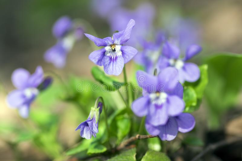 Viola odorata wild small flower in bloom, violet purple flowering plant stock photos
