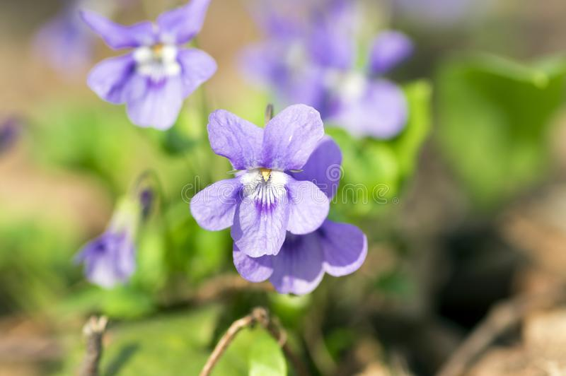 Viola odorata wild small flower in bloom, violet purple flowering plant royalty free stock photo