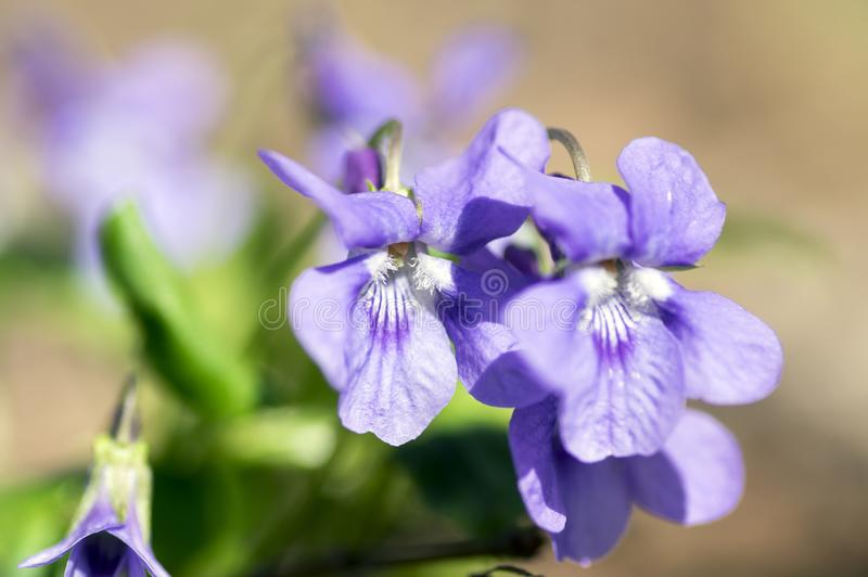 Viola odorata wild small flower in bloom, violet purple flowering plant royalty free stock photos