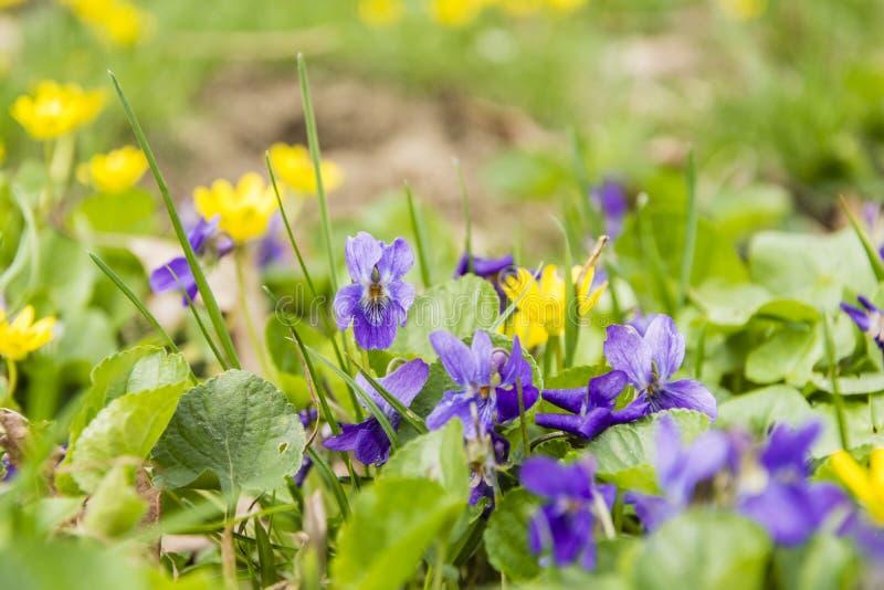 Viola odorata (wood violet, sweet violet, English violet, common violet, florist's violet) stock images