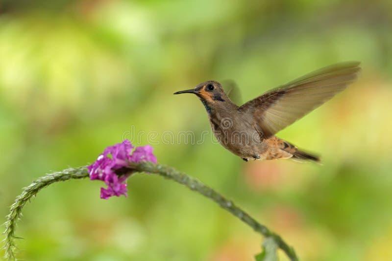 Viola-orecchio di Brown del colibrì, delphinae di Colibri, volanti accanto al bello fiore rosa, fondo verde arancio fiorito piace fotografie stock libere da diritti