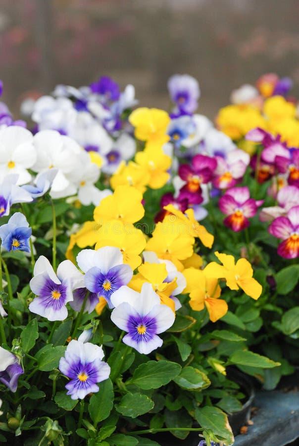 Viola ou violeta de Heartsease foto de stock royalty free