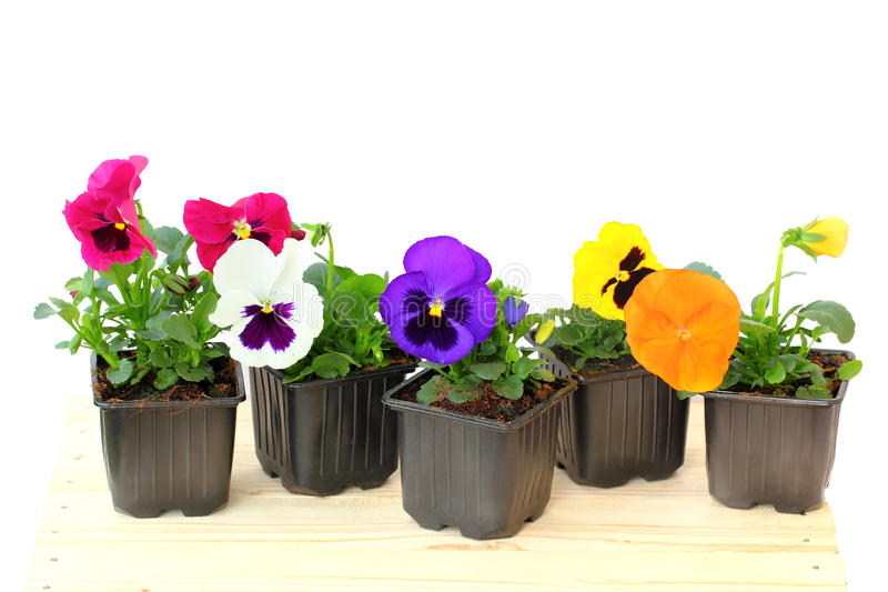 Viola pansy in pot. Isolated on a white background stock photo