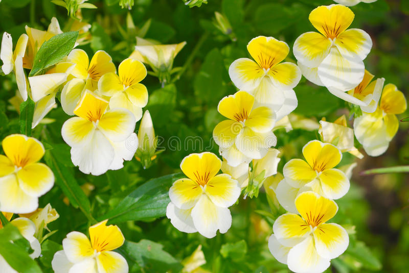 Download Viola Pedunculata Stock Photography - Image: 18040552