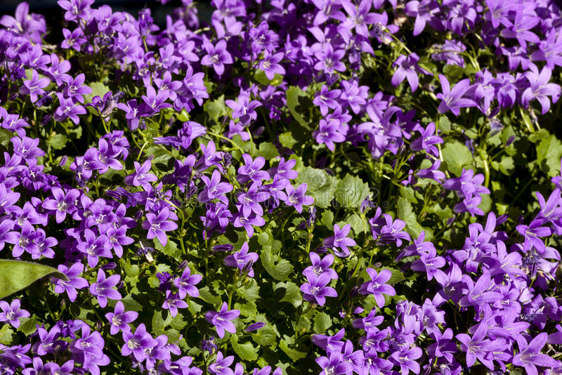 Viola (pianta) immagine stock