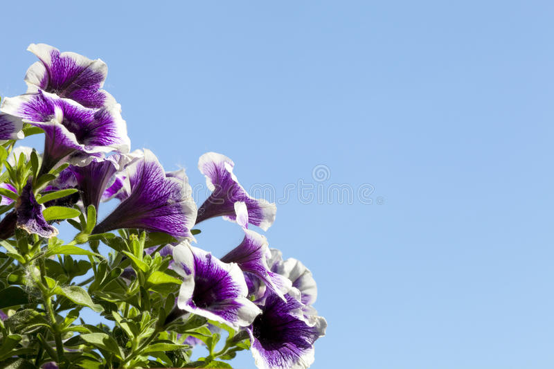 Viola (plant). Flowers with blue sky as background. royalty free stock photography