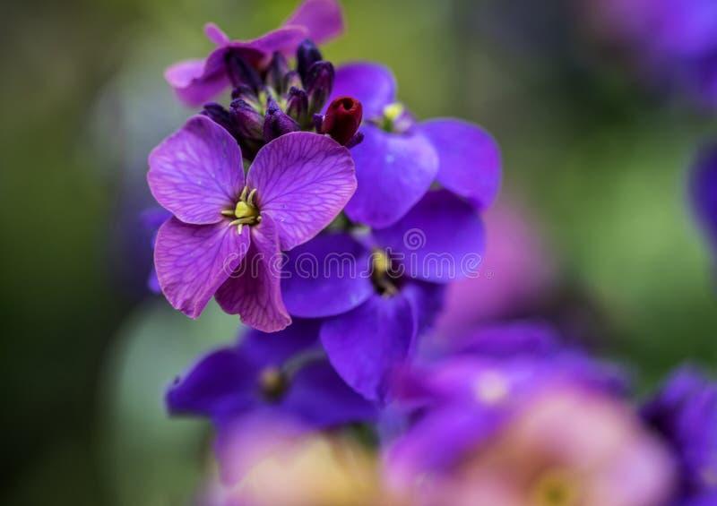 Viola Purple e blu con buon bokeh immagini stock libere da diritti