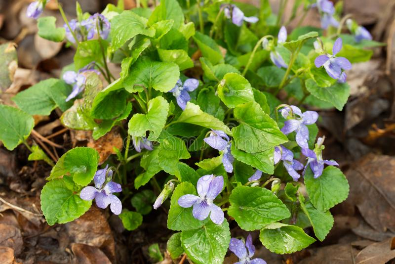 Viola reichenbachiana, early dog-violet, or pale wood violet flowers in forest stock image