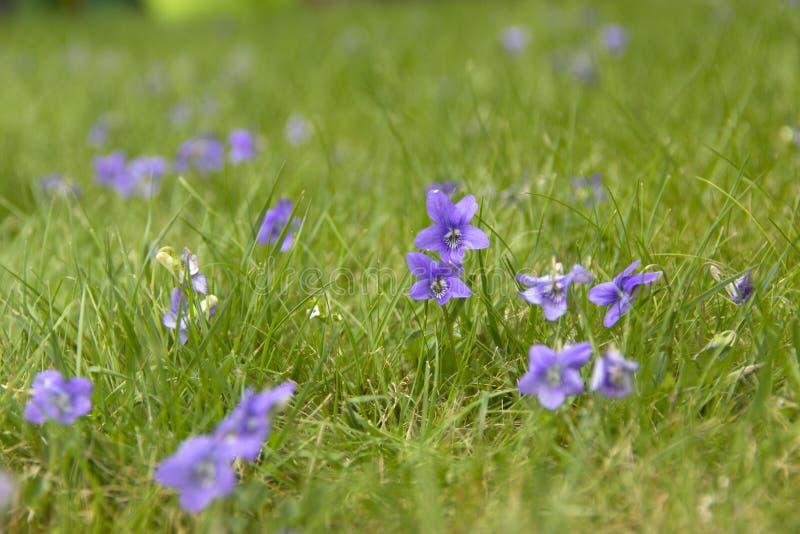 Viola selvatica fotografie stock