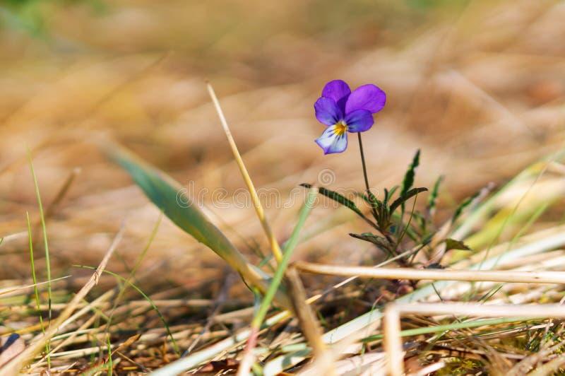 Viola selvatica su fondo arancio, poco fiore blu fotografia stock libera da diritti