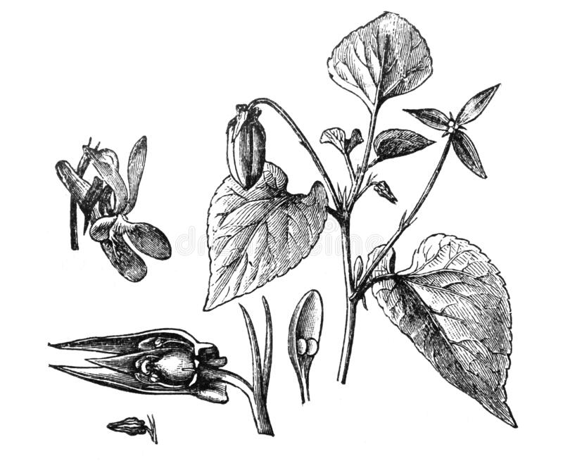 Viola silvestris / vintage illustration from Brockhaus Konversations-Lexikon 1908 vector illustratie