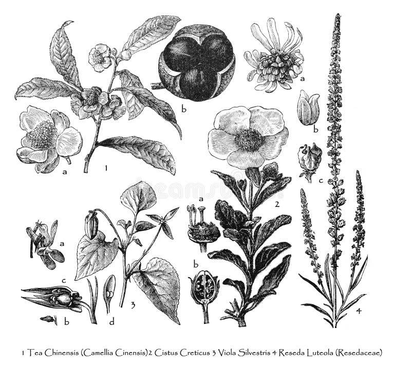 Viola silvestris / vintage illustration from Brockhaus Konversations-Lexikon 1908 royalty-vrije illustratie