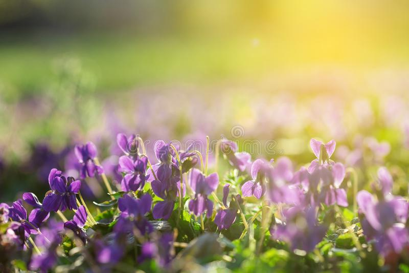 Viola in Sunny Early Spring Garden lizenzfreie stockbilder