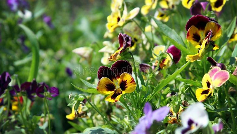 Viola Tricolor fotos de stock royalty free