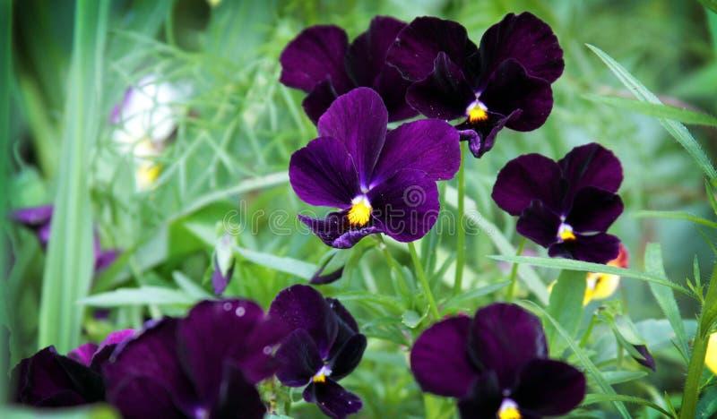 Viola Tricolor foto de stock royalty free