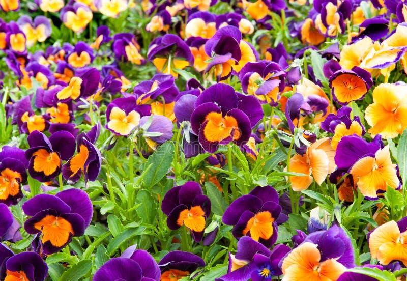 Viola Tricolor cor-de-rosa foto de stock royalty free