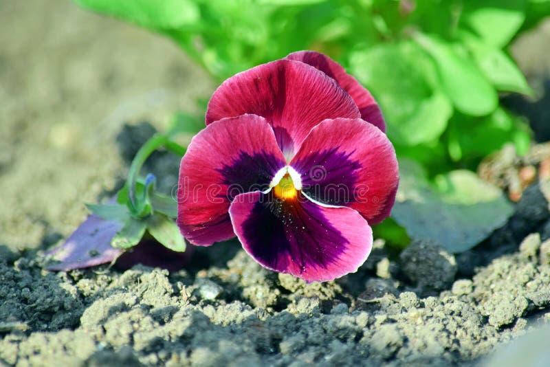 Viola Tricolor Hortensis Flowers Homa som arbeta i trädgården växter, lagerför fotoet arkivfoto