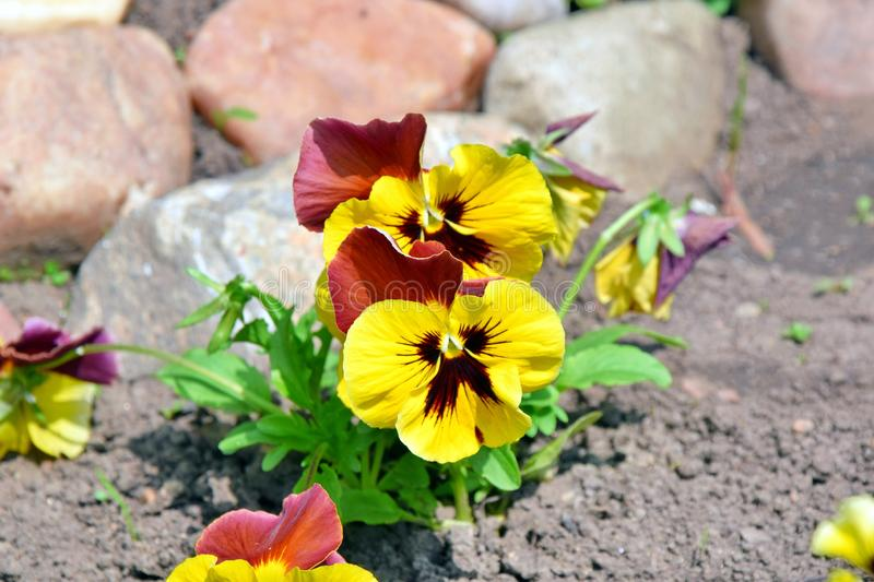 Viola Tricolor Hortensis Flowers Home Gardening Plants Stock Photo stock image