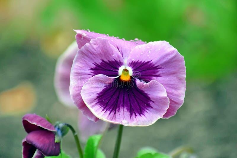 Viola Tricolor Hortensis Flowers Home-het Tuinieren de Foto van de Installatiesvoorraad royalty-vrije stock afbeelding