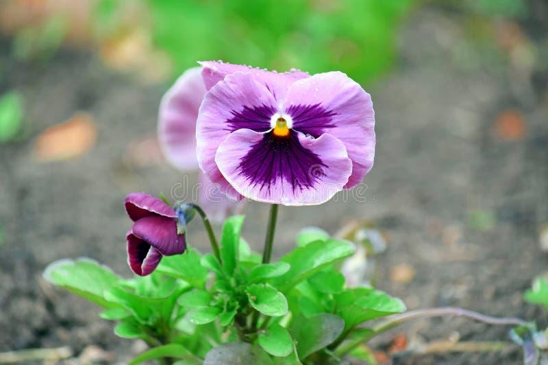 Viola Tricolor Hortensis Flowers Home som arbeta i trädgården växter, lagerför fotoet arkivfoton