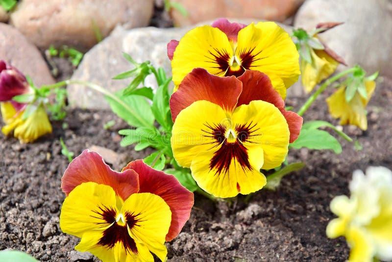 Viola Tricolor Hortensis Flowers Home som arbeta i trädgården växter, lagerför fotoet royaltyfri fotografi