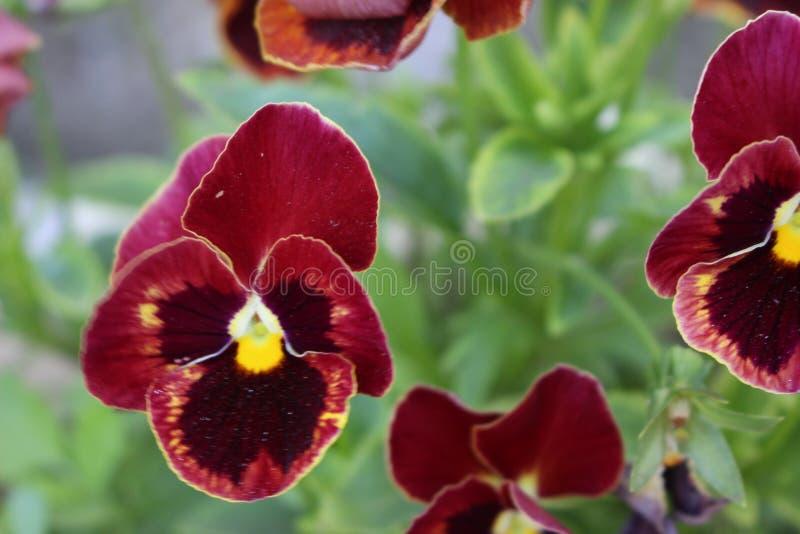 Viola tricolor Macro fotografia de stock royalty free